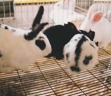 coelhos pintados