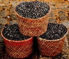 Acai-Berries-Brazil